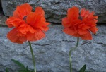 Poppies  (12 April 2012)