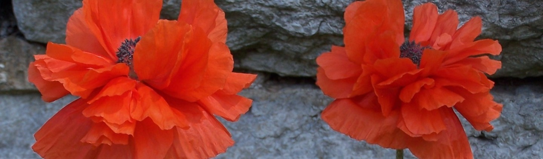Apr 12 -- Poppies