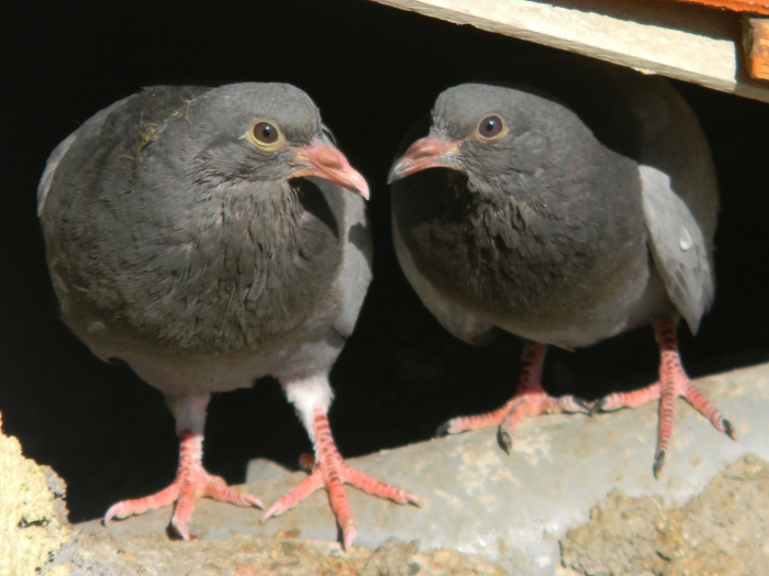 First pair of pigeon chicks we watched mature