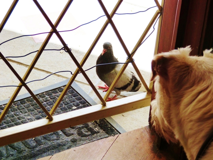 Our dog Ralph keeps an eye on rescued chick.