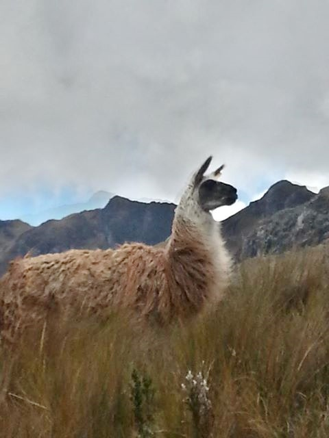 Juan's picture of the mama llama.  He got closer than I did, at which point she began to spit at him.