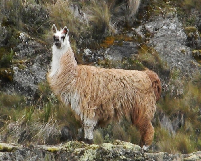 Kathy's shot of the mama llama--