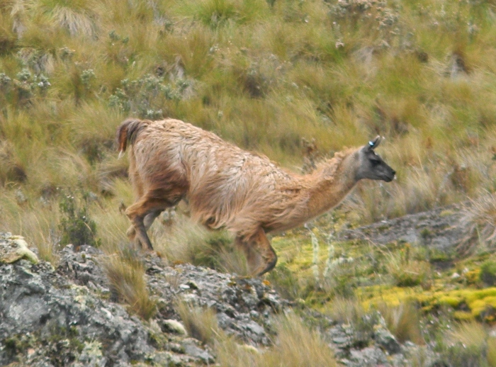 Kathy's image of llama on the run--