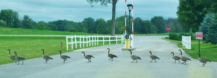 The wild geese Madrina was chasing suddenly appeared as we were leaving the RV park yesterday.